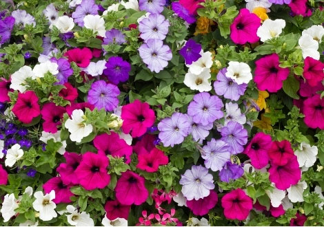 Bedding Plants, What Is The Usual Meaning Of Term Bedding Plant