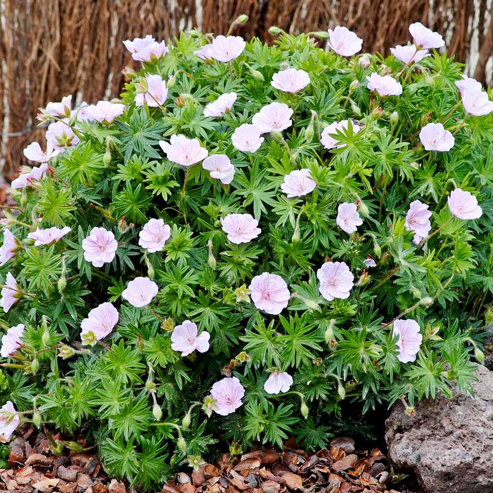 Geranium sanguineum var. Plant - Striatum