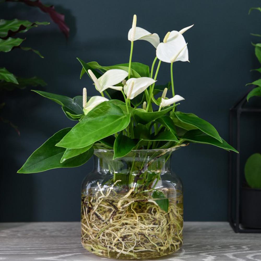 Anthurium Aqua White in Sierglass