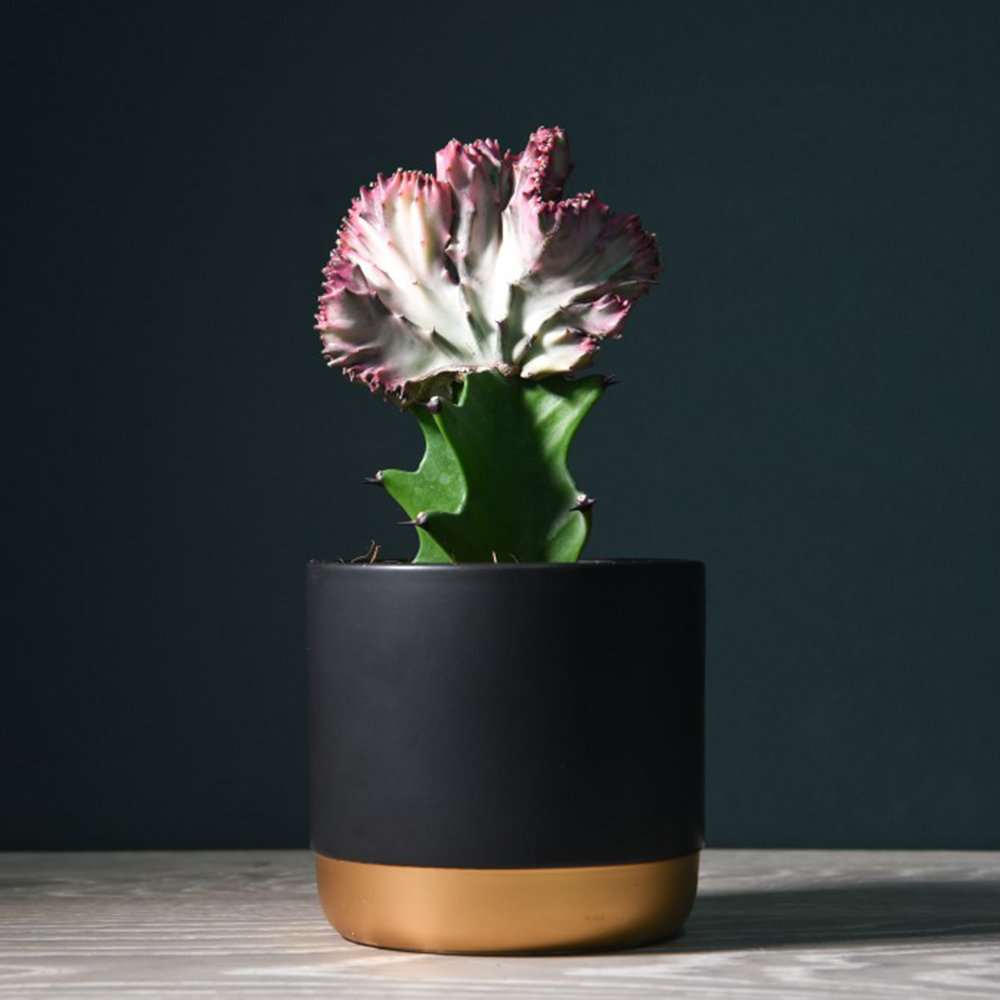 Coral Cactus Euphorbia lactea