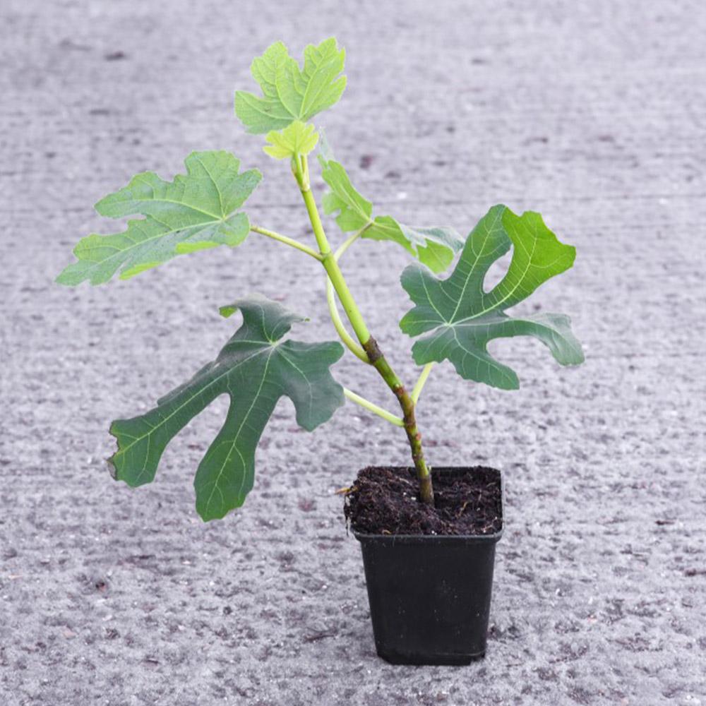 Ficus (Fig) Carica