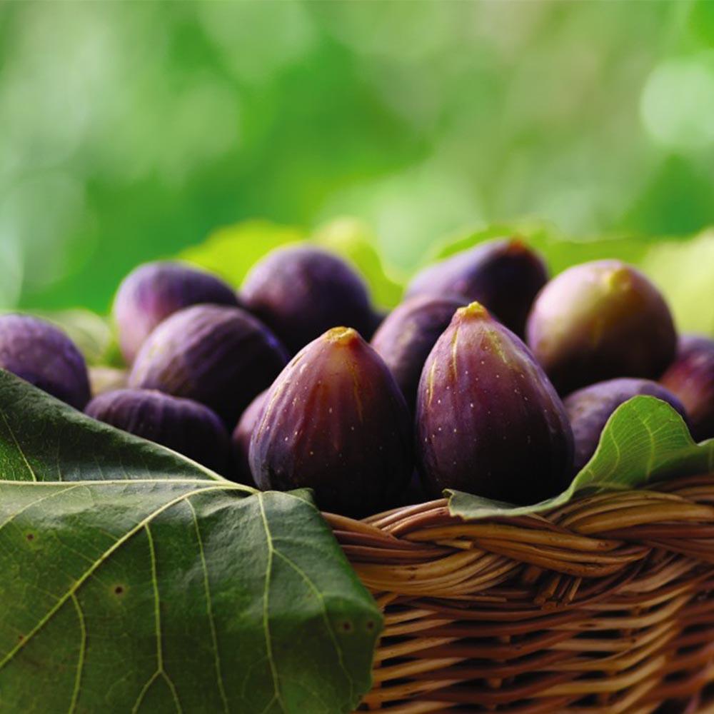 Fig (Ficus) Negronne (Violette De Bourdea)