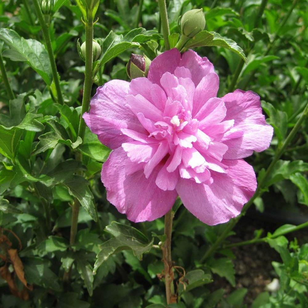 Hibiscus Plant - Purple Ruffles