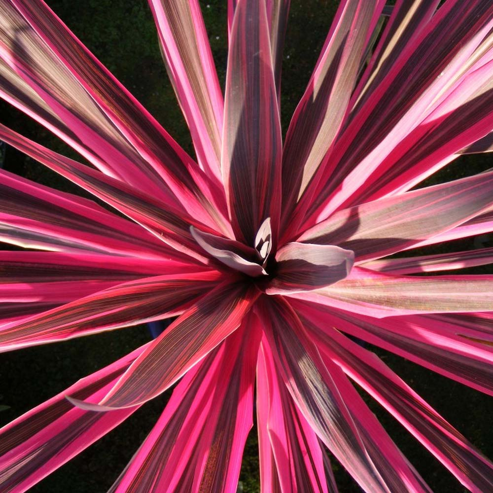 Cordyline Australis Pink Passion