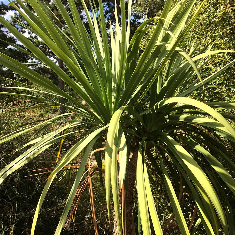 Cordyline australis Verde atlantic green