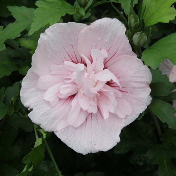 Hibiscus syriacus Plant - Pink Chiffon