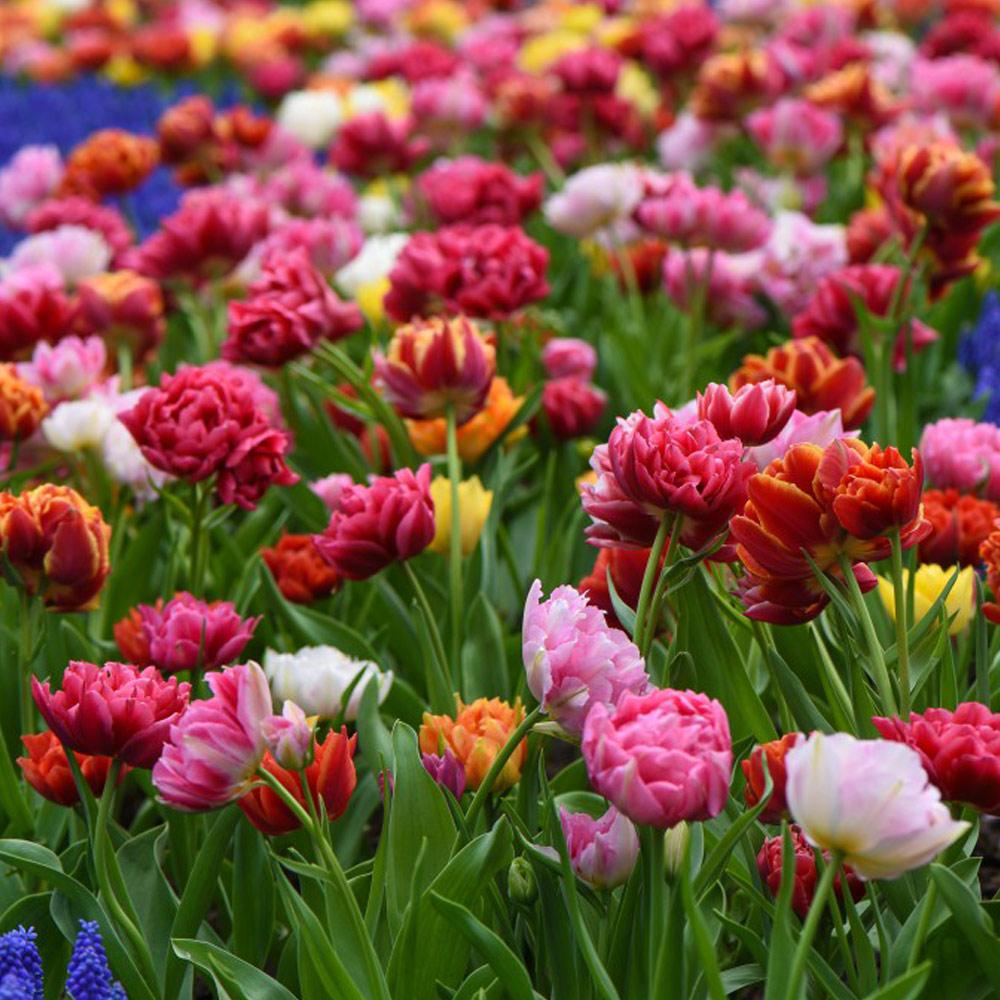 Tulip Murillo Mixed Bulbs