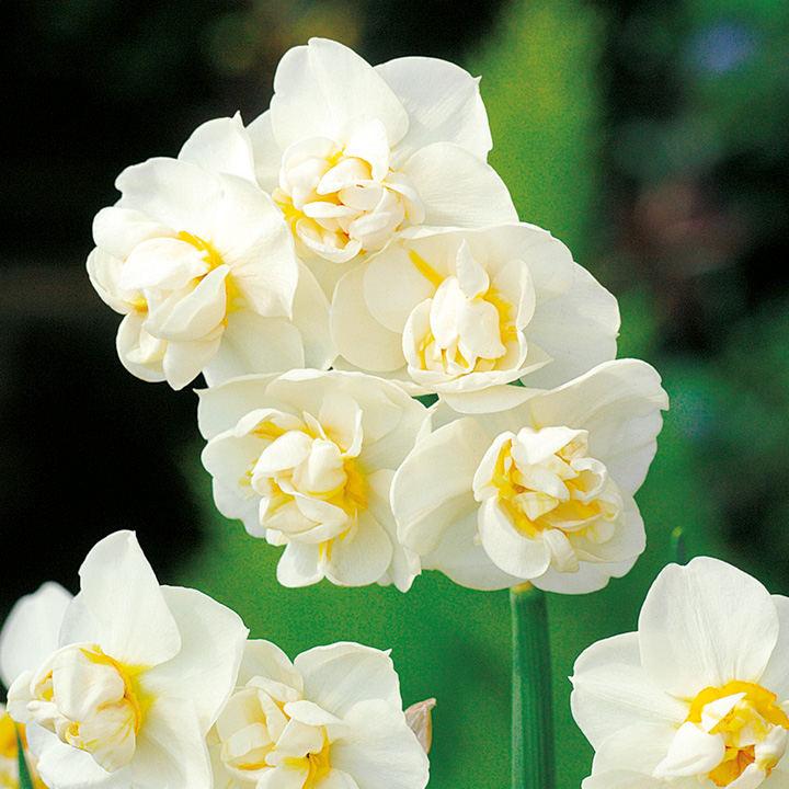 Daffodil (Do...