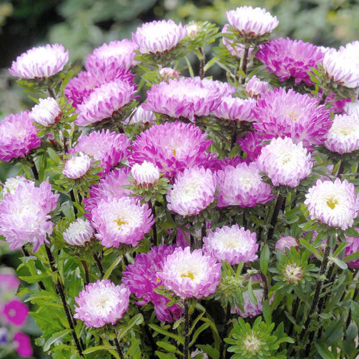 Aster Seeds - Matsumoto Pink-Tipped White