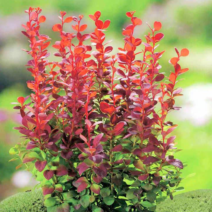Berberis thunb. Plant - Orange Rocket