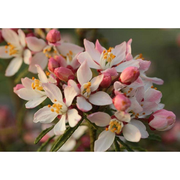 Choisya ternata Plant - Apple Blossom