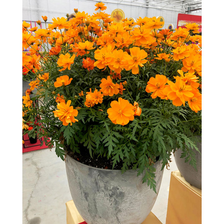 Cosmos Plants Mandarin Suttons, What Is The Usual Meaning Of Term Bedding Plant
