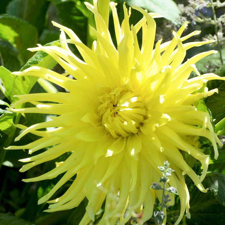 Dahlia Plant - Yellow Star