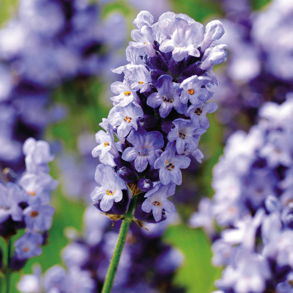 Seeds for Pollinators - Hidcote Blue