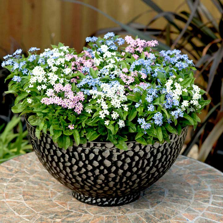Forget Me Not Plants Mon Amie Mixed, What Is The Usual Meaning Of Term Bedding Plant