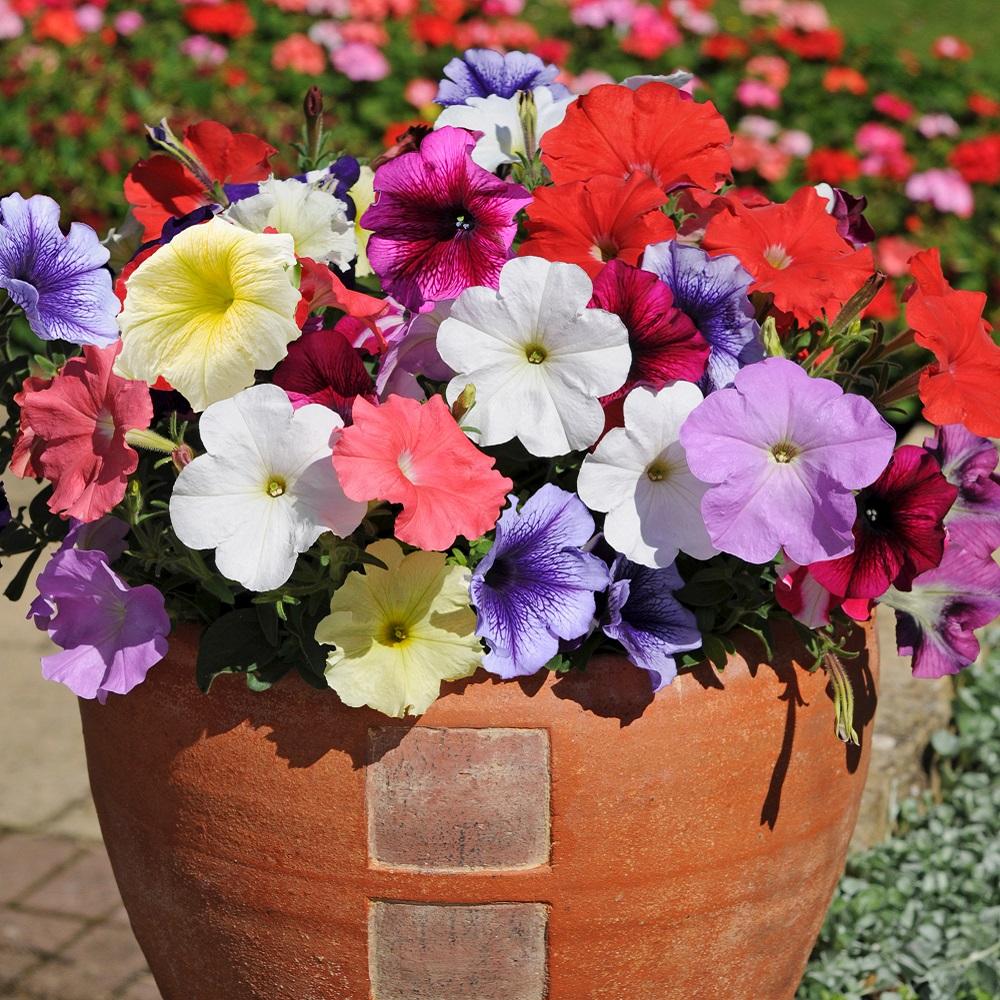 Petunia Plants - Frenzy Mixed