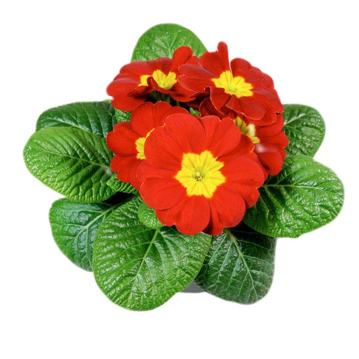 Primula Plants - Christmas Mix