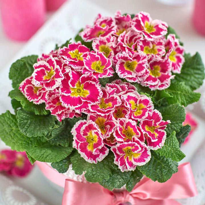 Primula Plants - Sweetie