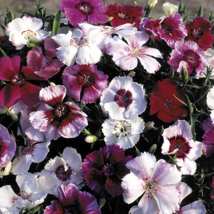 Dianthus Seeds - Sugar Baby Mix