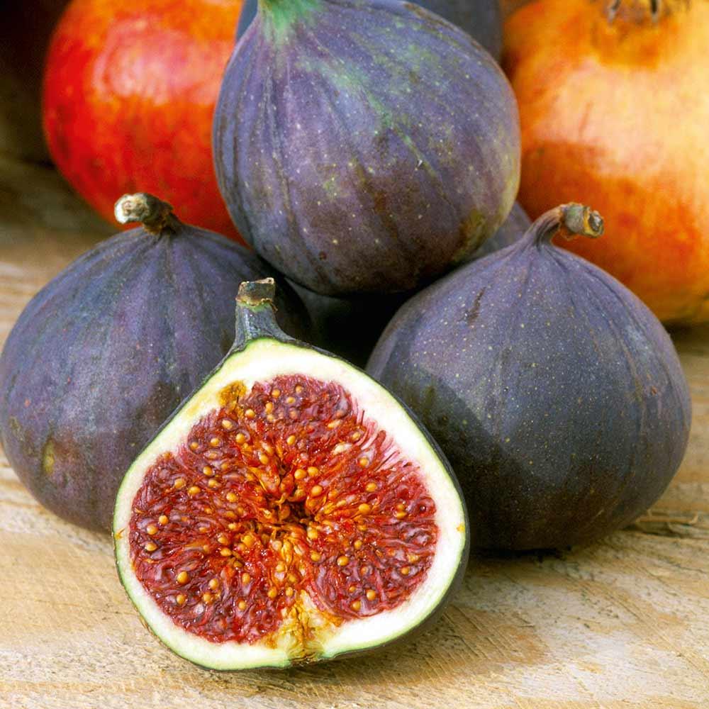 Fig (Ficus) Moerheim