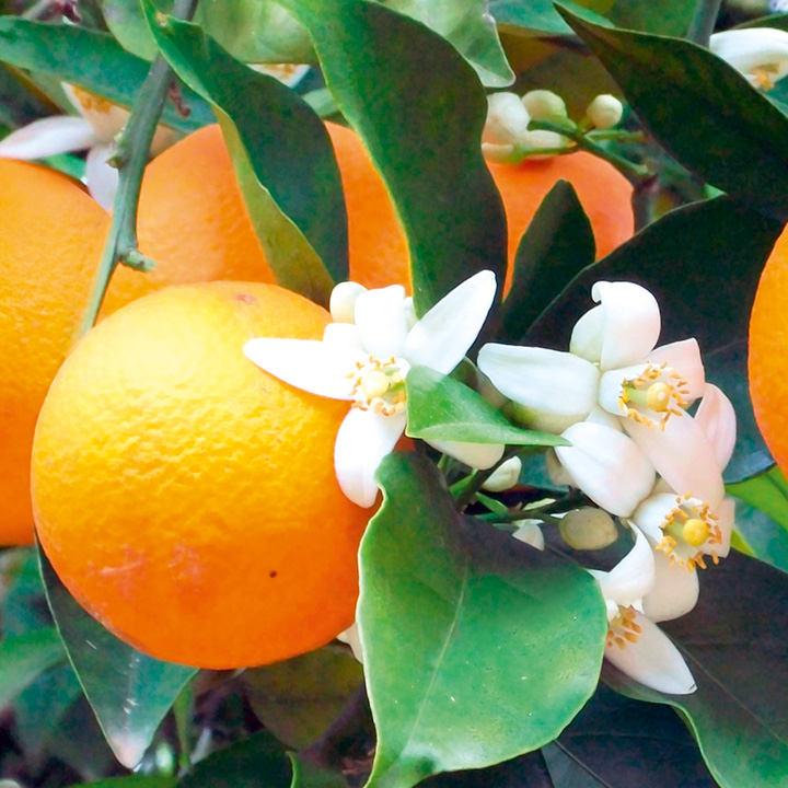 Plants & Plant Care Citrus Plant - Orange