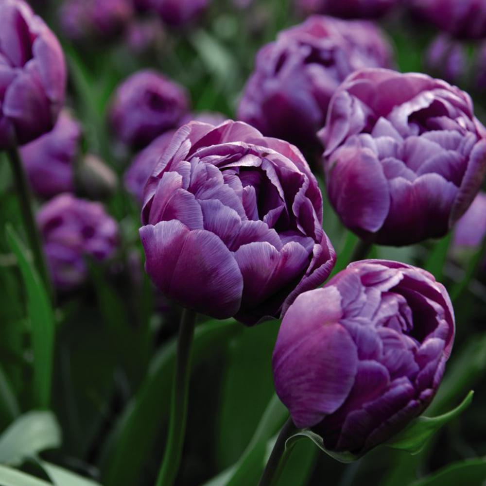 Tulip Blue Diamond Bulbs