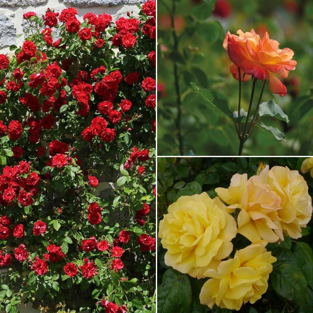 Rose Climbing Collection