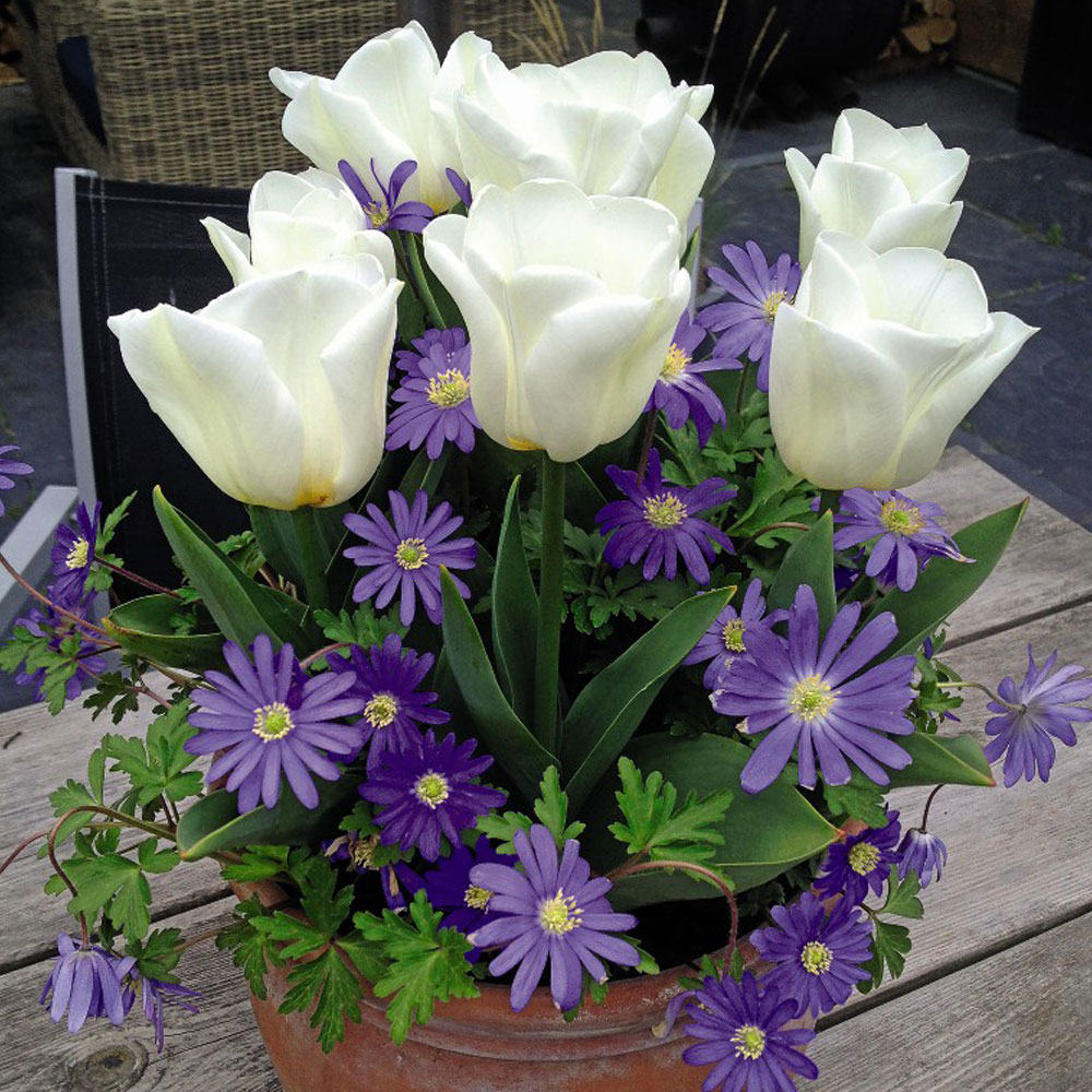 Plant-O-Tray Tulip Royal Virgin and Anemone Blue Mix