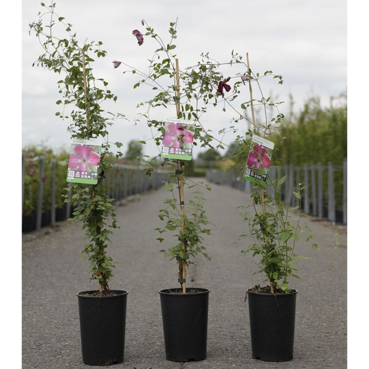 Clematis Plant - Kermesina