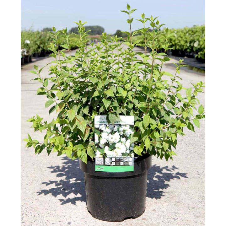 Philadelphus Plant - Manteau dHermine