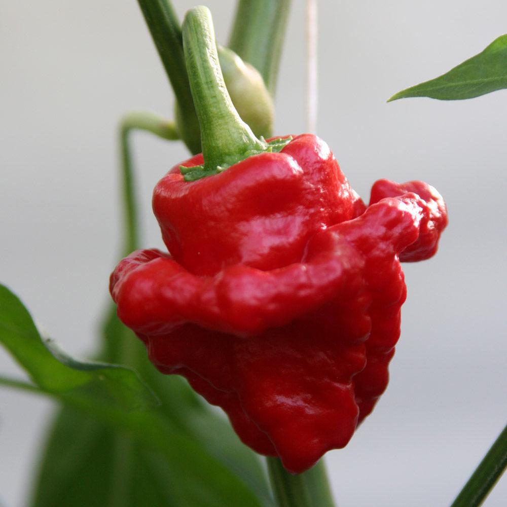 Chilli Pepper Plant - Scotch Bonnet Red