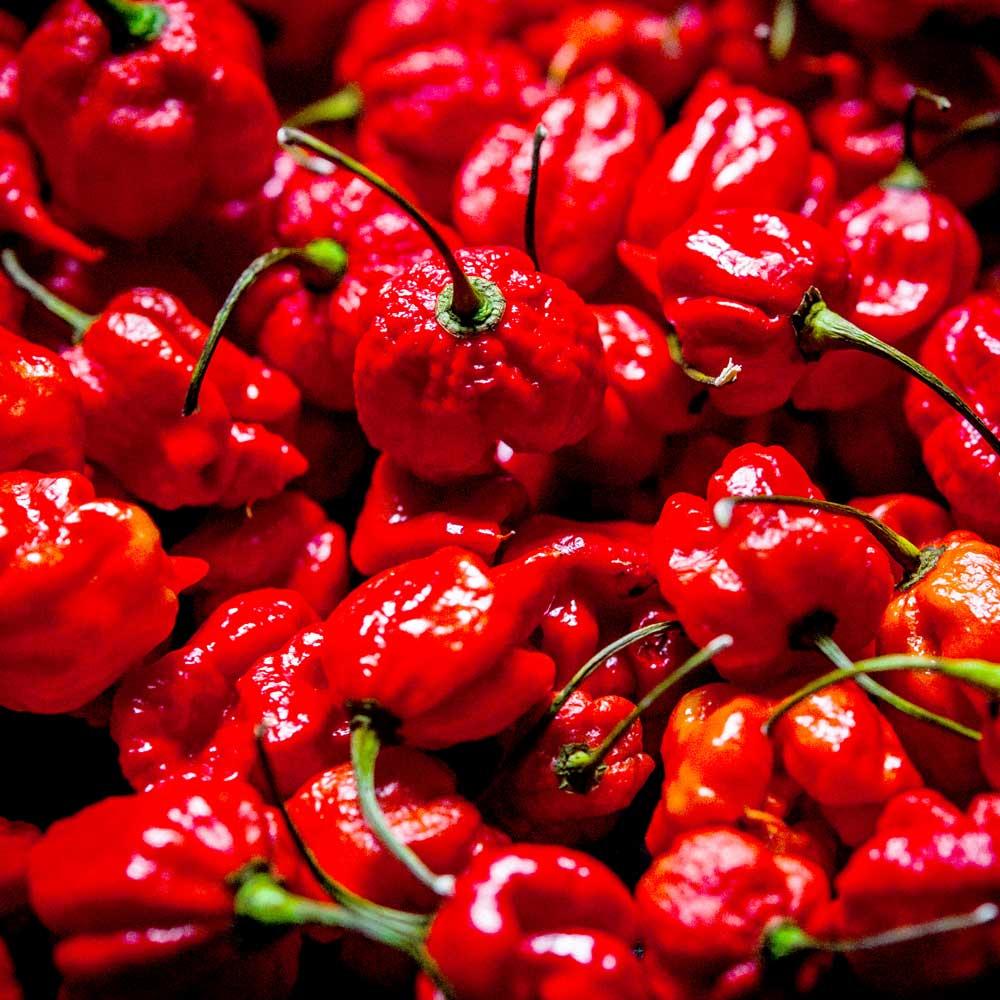 Chilli Pepper Plants - Carolina Reaper