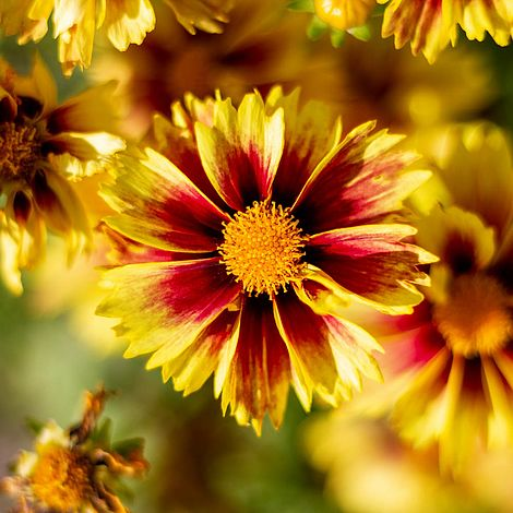 Coreopsis Lil Bang Enchanted Eve