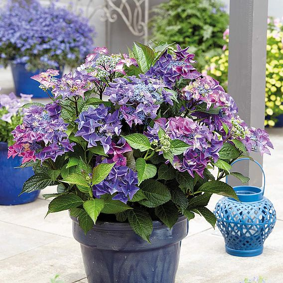 Hydrangea Black Diamonds Shining Angel