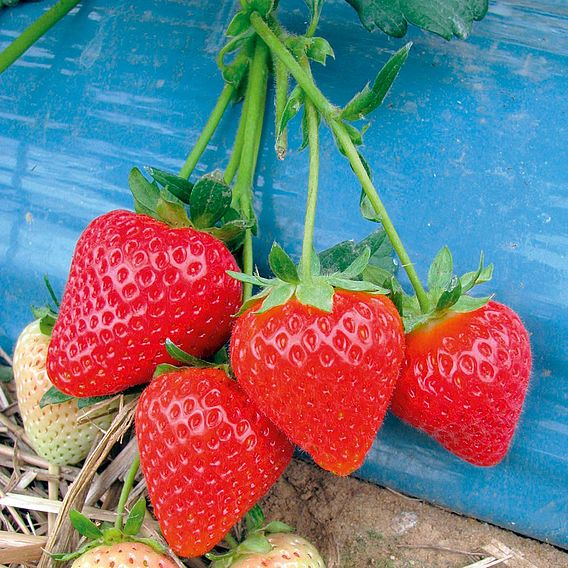 Strawberry Malling Centenary Misted Tip