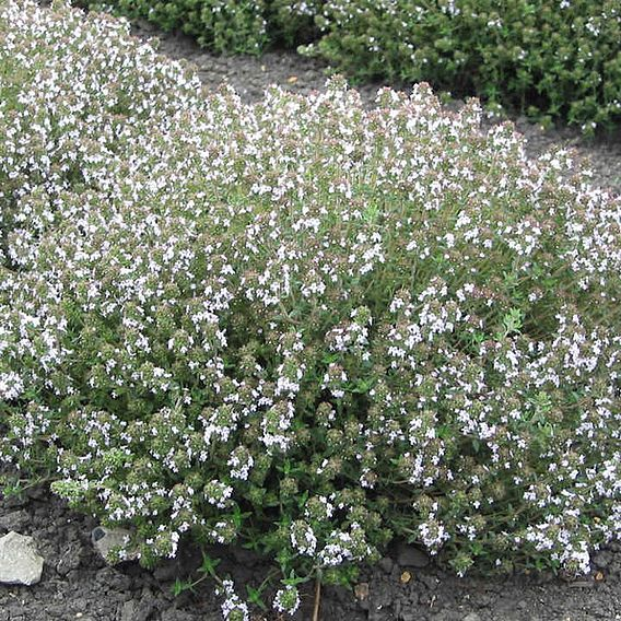 Seeds for Pollinators - Thyme Orange Scented