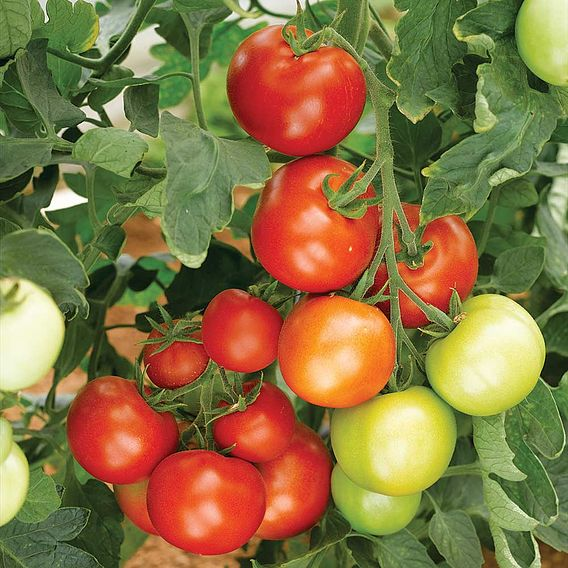 Grafted Tomato Plant - Moneymaker